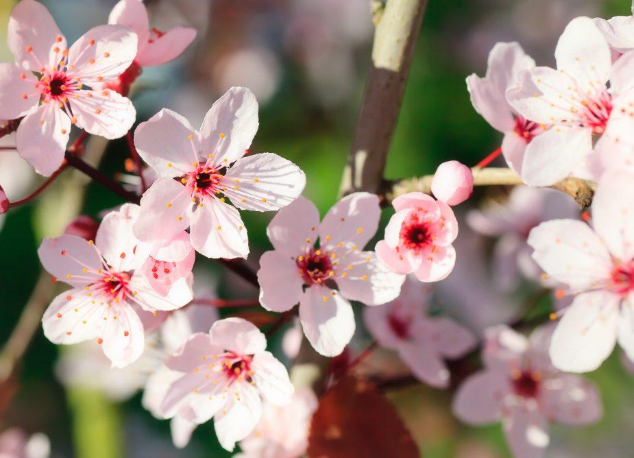 Descubre la floración de los cerezos con Privilegios en Compras