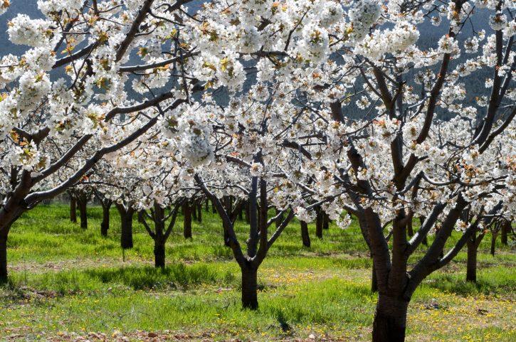 Visita la floración de los cerezos en el Valle del Jerte